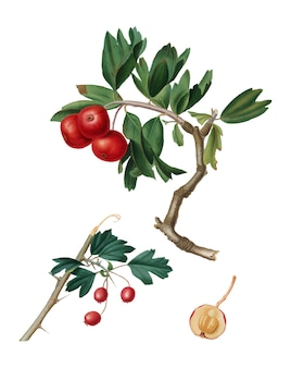 Pomona italianaイラストの赤い実 - リンゴ