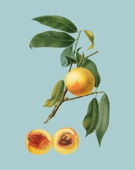 Персик из иллюстрации pomona italiana