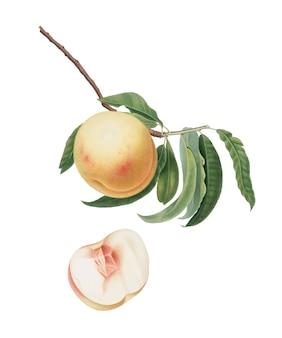 Персик дюрацина из иллюстрации pomona italiana