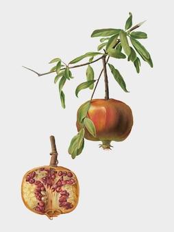 Pomona italianaイラストのザクロ