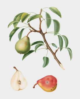 Pomona italianaイラストの梨