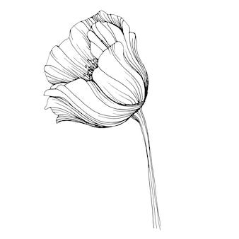 ポピーの花。花の植物の花。孤立したイラスト要素。野花を描く手描き