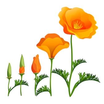 양귀비 오름차순 또는 성장 단계. 양귀비 꽃 봉오리 개방의 현실적인 그림입니다. 녹색 잎을 가진 만개에서 아름 다운 붉은 꽃. 마약 식물 식물상 양귀비 속