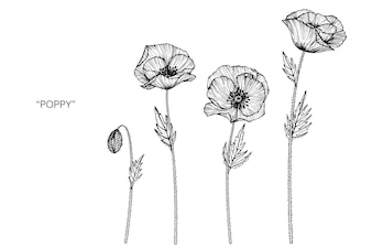 Line Drawing Of Flowers Clipart : Poppy vectors photos and psd files free download