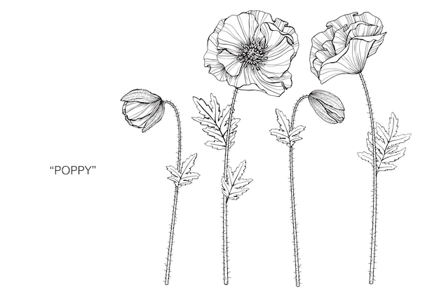 Poppy flower drawing illustration