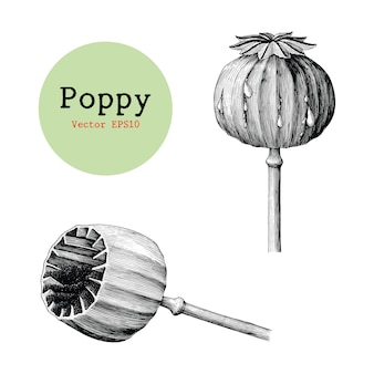 Poppy hand drawing vintage isolated on white background