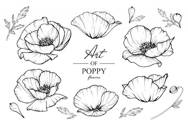 Poppy leaf and flower drawings.