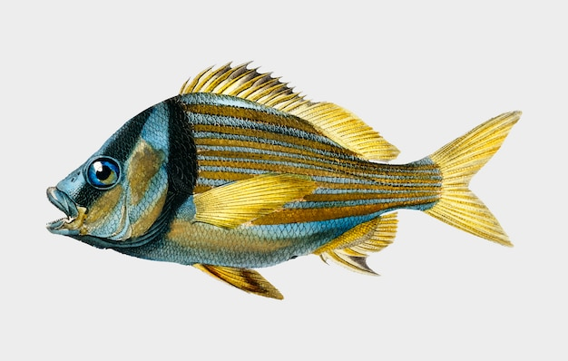 Porkfish (pristipoma virginianum) illustrated by charles dessalines d'orbigny (1806-1876).