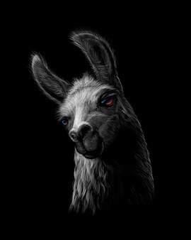 Portrait of a head of a llama on a black background.  illustration