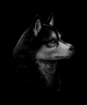 Portrait of the head of the siberian husky with blue eyes on a black background.  illustration