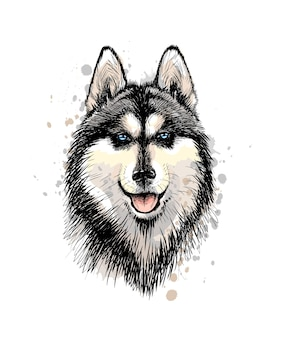 Portrait of the head of the siberian husky with blue eyes from a splash of watercolor, hand drawn sketch.  illustration of paints