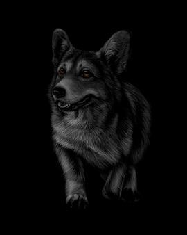 Portrait of welsh corgi on a black background.  illustration