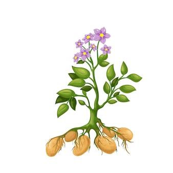 花、根、塊茎を持つジャガイモ植物。ジャガイモの収穫のイラスト。
