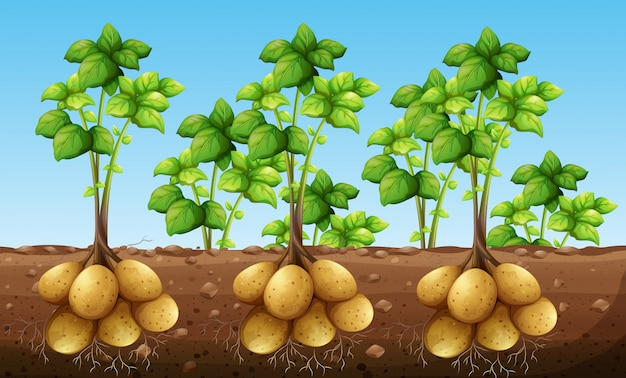 Potatos growing under ground