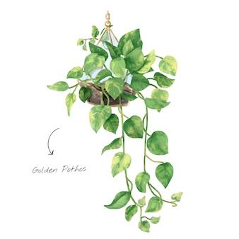 Золотой лист pothos, изолированных на белом фоне