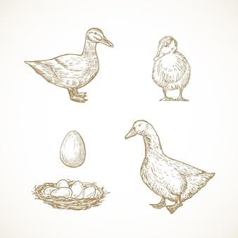 家禽の鳥のスケッチセット。巣の中のアヒル、アヒルの子、ドレイク、卵の手描きイラスト。孤立。