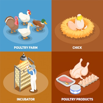 Poultry concept set of chick in nest poultry farm incubator and poultry products square icons isometric