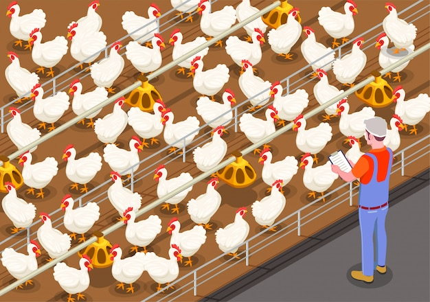 Poultry isometric illustration with staff member on chicken farm controlling feeding of birds