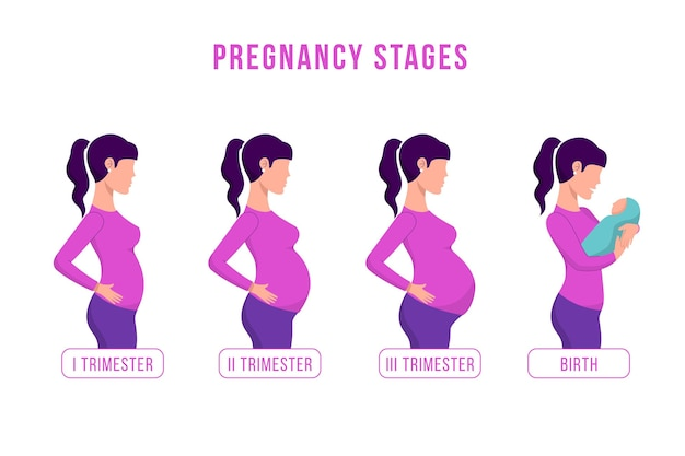 Pregnancy stages  illustrated