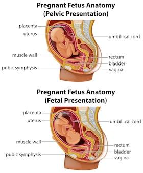 Схема анатомии беременного плода