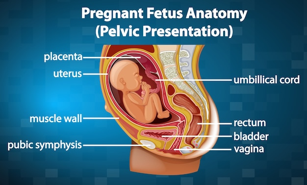 Pregnant fetus anatomy diagram