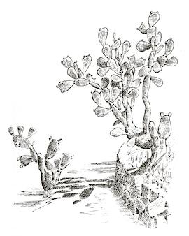 ウチワサボテン。植物には、古いスケッチ、ビンテージスタイルで描かれた手が刻まれています。メキシコのウキクサ、動植物。植物園。 Premiumベクター