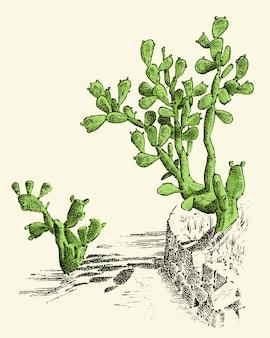 ウチワサボテン。植物には、古いスケッチ、ビンテージスタイルで描かれた手が刻まれています。メキシコのウキクサ、動植物。植物園。