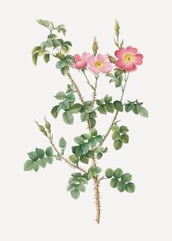 Prickly sweet briar roses