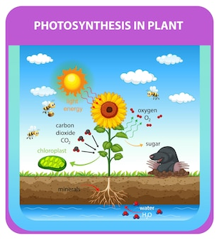 Process of photosynthesis in plant