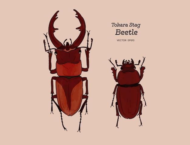 Токара красный жук-олень (prosopocoilus disisimis) на острове токара, япония. рука рисовать эскиз вектор. мужчина и женщина.