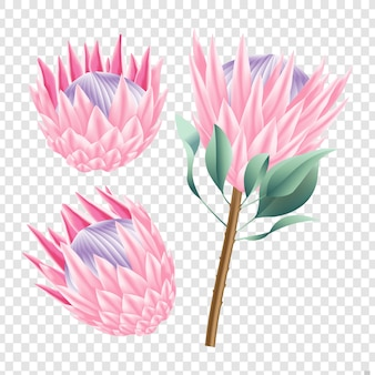 Protea flowers vector