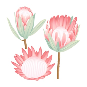 Protea vector collection