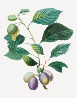 アンリ=ルイ・デュアメル・デュ・モンソーのアートワークからリミックスされた、葉のアートプリントが施されたプルーンベクター