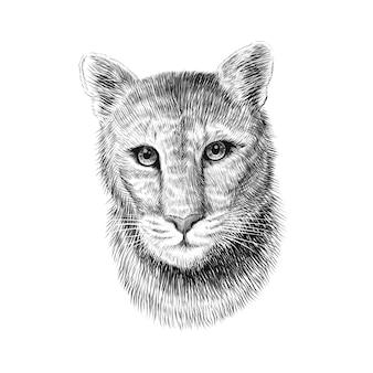 푸마 머리, 흰색 배경에 스케치 그래픽 흑백 그림. 손으로 그린 미국 산 사자 초상화.