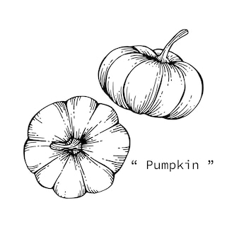 Pumpkin drawing illustration by hand drawn line art.