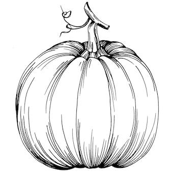 Тыква рисованной старинные иллюстрации тыквы на хэллоуин. гравюра осень. урожай для приготовления пищи.