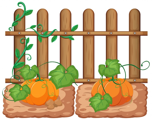 Pumpkins growing in the garden on white background