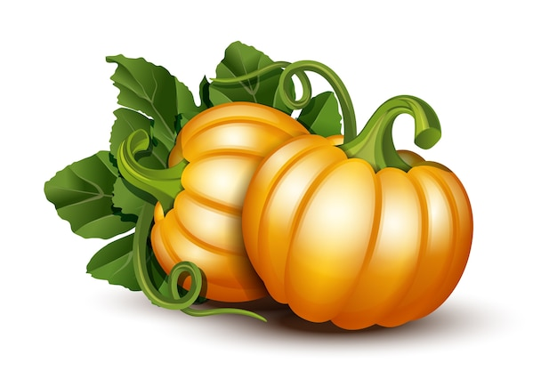 Тыквы с листьями на белой предпосылке. иллюстрация спелые оранжевые тыквы - тыква на хэллоуин, фестиваль осеннего урожая или день благодарения. экологически чистые овощи.