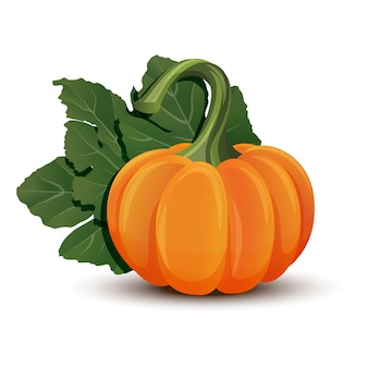 Pumpkins with leaves  on white background.  illustration ripe orange pumpkin -