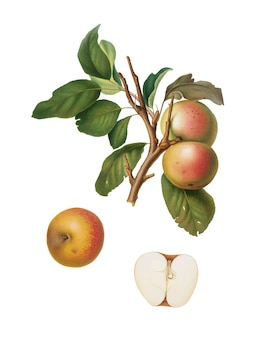 Pupina apple from pomona italiana illustration