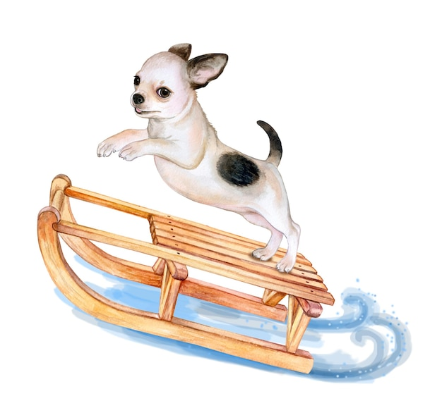 Puppy chihuahuaon a sleigh isolated on white background the dog is riding a sleigh