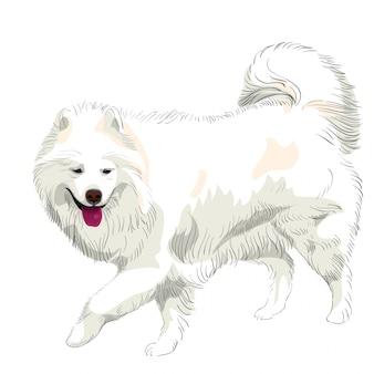 Purebred samoyed dog smile