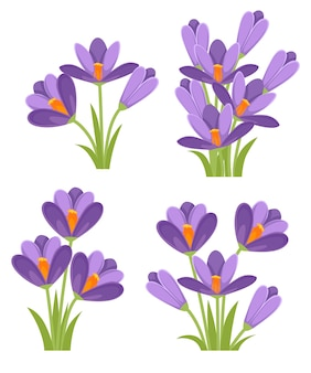 Purple crocuses illustration