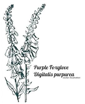 보라색 디기탈리스 또는 digitalis purpurea
