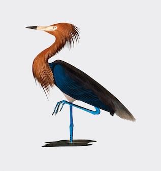 Purple heron illustration
