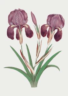 Purple iris in vintage style