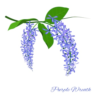 Purple wreath flower on white background, vector illustration