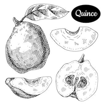Quince hand drawn.