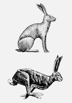 Rabbit or hare sitting and running hand drawn, engraved wild animals in vintage or retro style, zoology set european