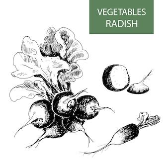 Radish drawing